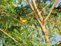 Yellow Oriole (icterus Nigrogularis)