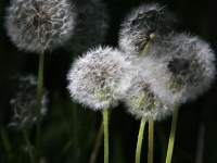 Dandelions Past Their Prime