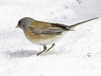 Dark-eyed Junco In The Snow.