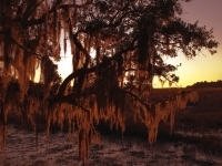 Spanish Moss At Cat Island