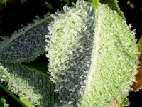 Frost Crystals On Leaf