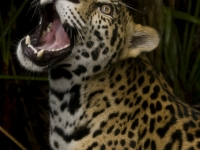 Jaguar Showing Its Teeth