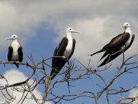 Magnificent Frigatebirds Perched On A Small Island In Belize