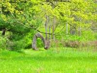 Arched Tree
