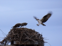 Pizza Delivery Osprey Style