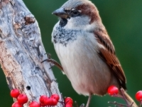 Sparrow Among The Berries