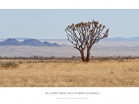 Lone Quiver Tree Or Kokerboom, Namibia
