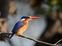 A Malachite Kingfisher In Chobe National Park