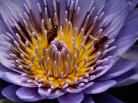 Purple Water Lilly With Bees