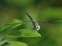 Blue-dasher At Rest