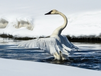 Trumpeter Swan Flexing For Take-off