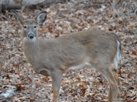 Young White-tailed Doe