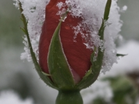 Rosebud In Snow