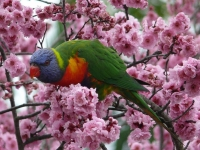 A Rainbow Lorikeet Feasts On Cherry Blossoms