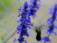 Hummingbird And Blue Sage