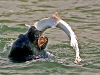 """lunch Time""  Sea Lion Eating Leopard Shark"