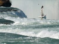 Seagull Over Falls