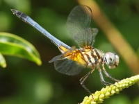 Blue Tailed (dragon) Fly.