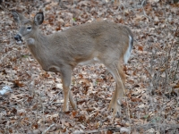 Chewing White-tailed Doe