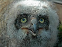 Baby Great Horned Owl