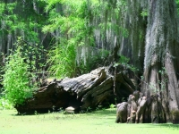 Caddo Lake Fallen Tree