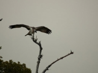Osprey First Flight