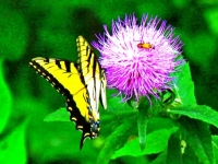 Western Tigertail Swallowtail On Thistle