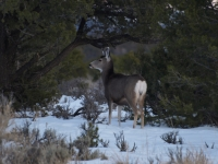 Mule, Deer, Softly, Quietly After The Sunset