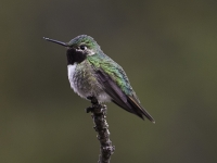 Broad Tail Hummingbird