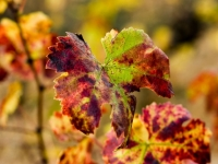 Wine Leaf's In Fall
