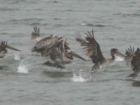 Brown Pelicans At Bowerman Basin