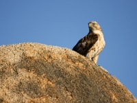 Alabama Hills Hawk