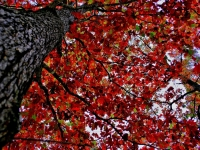 Looking Up Through Autumn Leaves