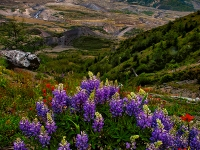 Lupine And Crater, Mt. St. Helens National Monument