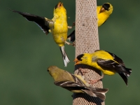 Goldfinch Society