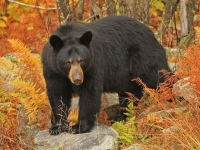 October Black Bear