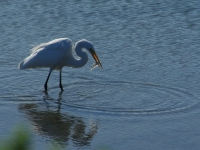 Egret And Fish