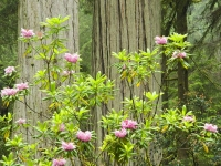 Rhododendrons And Redwoods