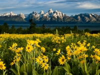 Wildflowers Under The Tetons