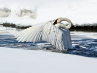 Trumpeter Swan Flexing Wings