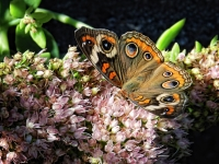 Buckeye Butterfly On Sedum