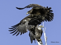 Bald Eagle Conflict At Cherry Creek State Park