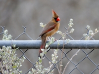 Female Cardinal With Cenizo