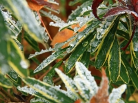 Frozen Variegated Daphne