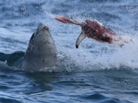 Leopard Seal Meal