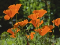 Stand Of Poppies