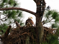 Southwest Florida Bald Eagle & Eagle Cam