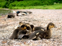 Mallard Ducklings On The Shore Of Ward Lake
