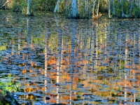Cypress Trees Reflect