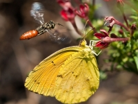 Wingman: Wasp And Cloudless Sulphur Butterfly